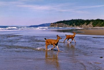 2 deer at the beach Camano island