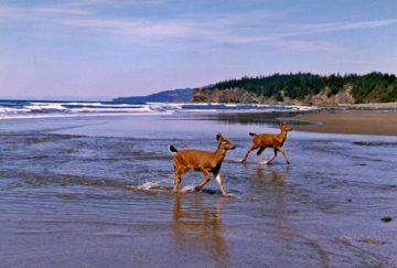2 deer at the beach Camano island